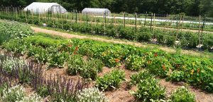 farm-nasturtium-rows